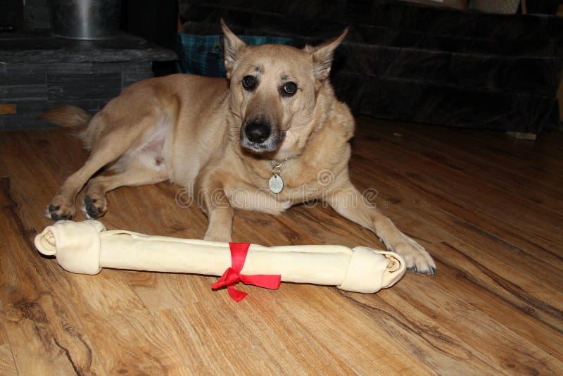 Σκυλί που βάζει στο πάτωμα με το κόκκαλο στοκ εικόνες με δικαίωμα ελεύθερης χρήσης