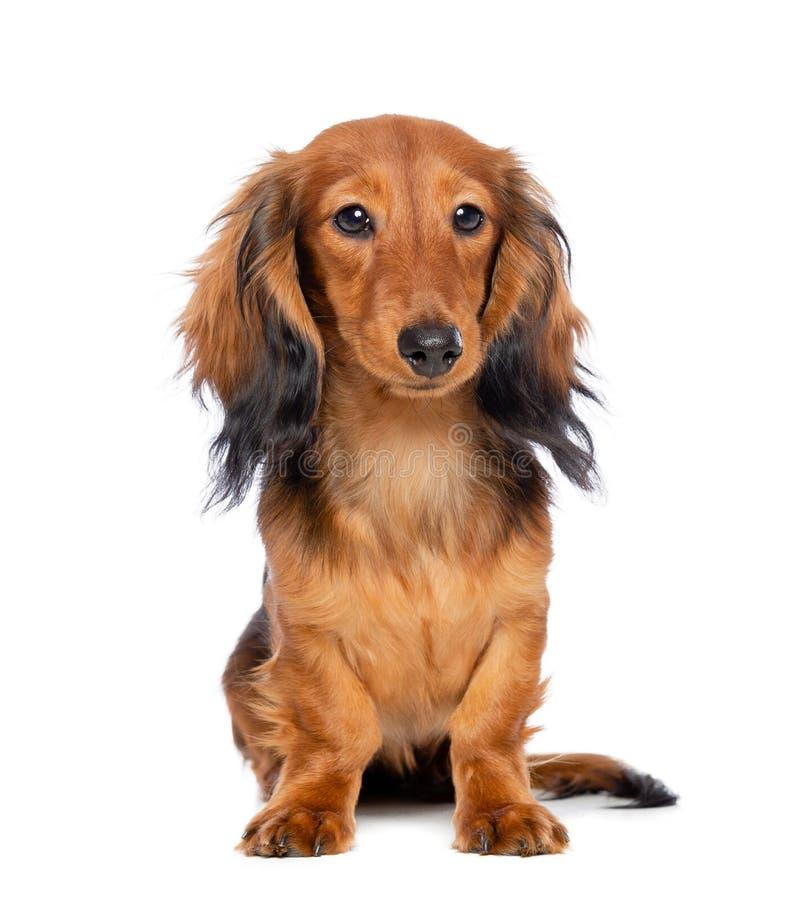 Σκυλί Dachshund που απομονώνεται στο άσπρο υπόβαθρο στοκ εικόνες