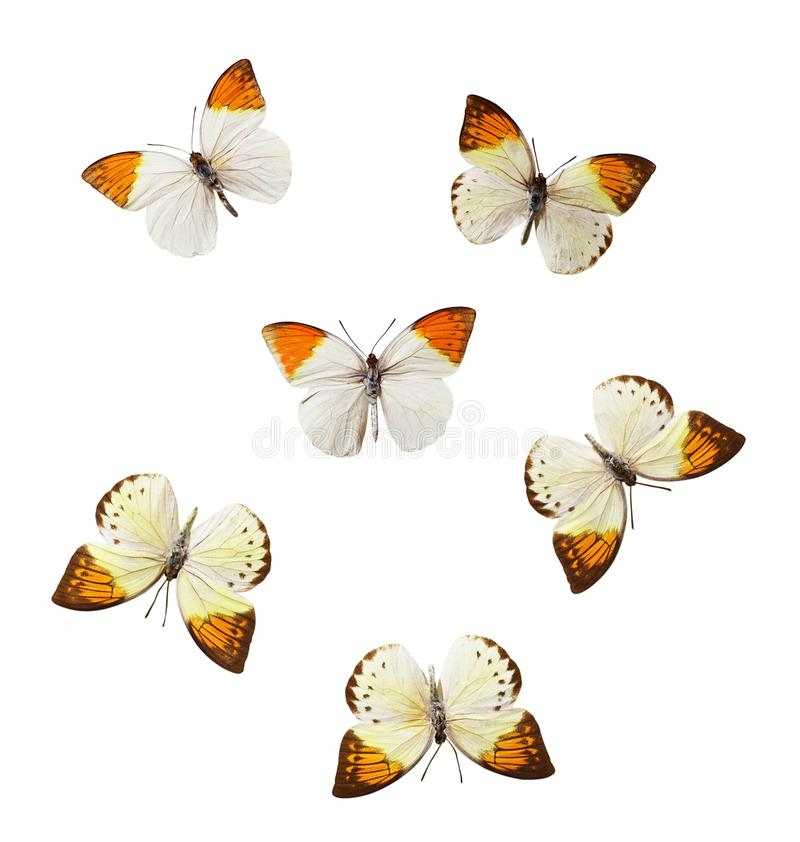 Σύνολο πεταλούδων Hebomoia στοκ φωτογραφίες με δικαίωμα ελεύθερης χρήσης