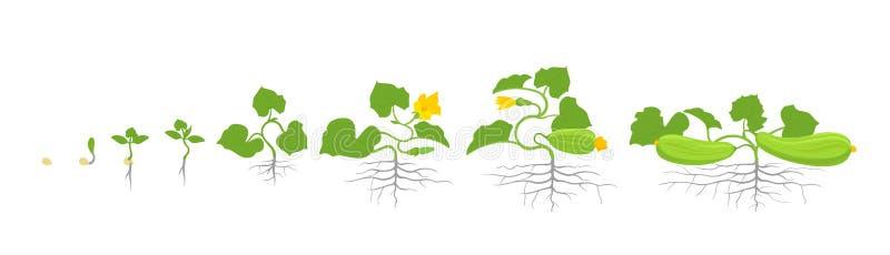 Στάδια αύξησης των εγκαταστάσεων κολοκυθιών ή κολοκυθιών επίσης corel σύρετε το διάνυσμα απεικόνισης Pepo Cucurbita Κύκλος ζωής κ ελεύθερη απεικόνιση δικαιώματος