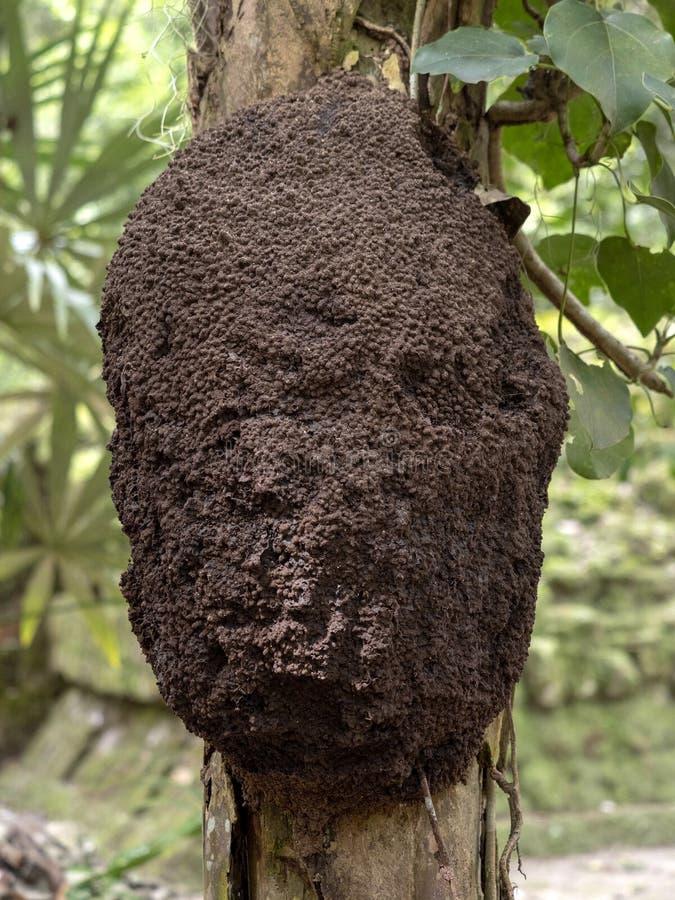 Σφαιρικοί τερμίτες δέντρων στους κλάδους, Γουατεμάλα στοκ φωτογραφία