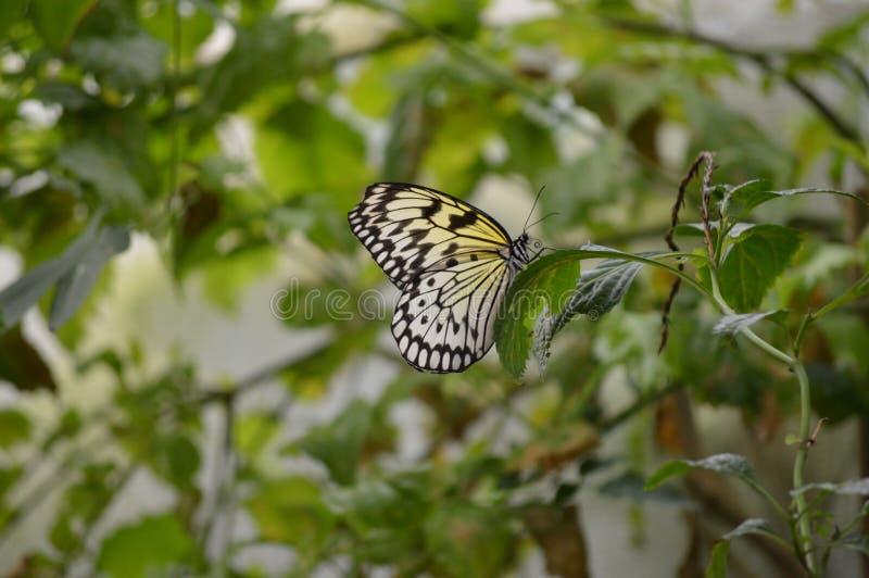 Συνεδρίαση πεταλούδων σε ένα φύλλο στο ζωολογικό κήπο ZSL Λονδίνο στοκ φωτογραφία με δικαίωμα ελεύθερης χρήσης