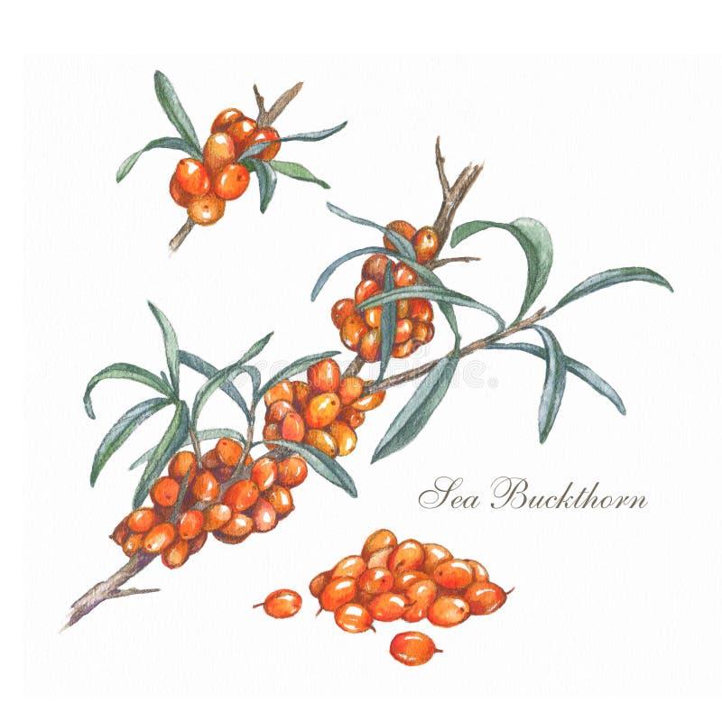 Συρμένος χέρι κλάδος λευκαγκαθιών ζωηρόχρωμη απεικόνιση Θεραπεύοντας τσάι και ιατρικό εδώδιμο μούρο Συστατικό τροφίμων, μαγείρεμα διανυσματική απεικόνιση