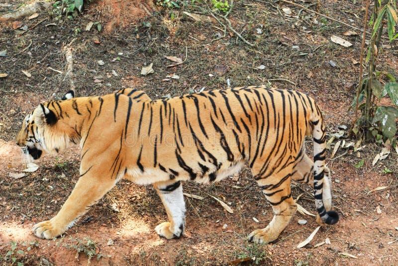 Τίγρη που περπατά σε ένα δάσος στοκ φωτογραφία