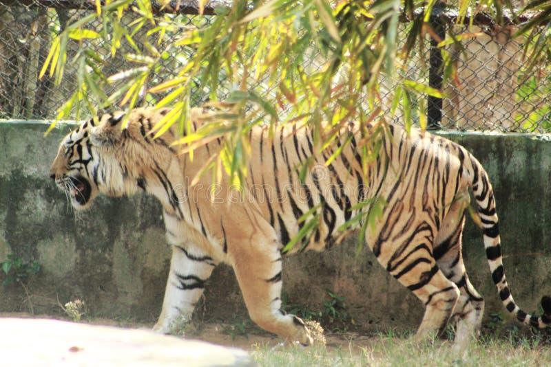 Τίγρη που περπατά πίσω από το δέντρο στοκ φωτογραφία με δικαίωμα ελεύθερης χρήσης