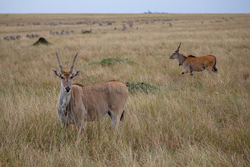 Ταυρότραγος, Masai Mara, Κένυα, Αφρική στοκ φωτογραφία