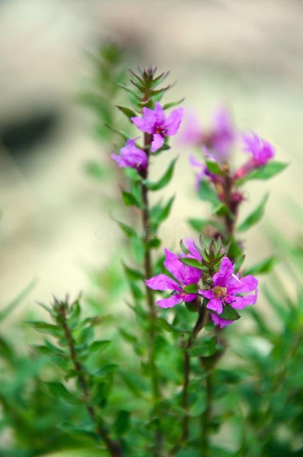 Τα θερινά ρόδινα λουλούδια κλείνουν επάνω στοκ εικόνες με δικαίωμα ελεύθερης χρήσης