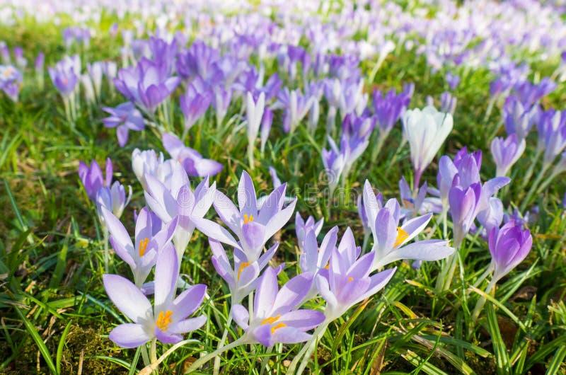 Τα ιώδη λουλούδια στη χλωρίδα στην Κολωνία, Γερμανία, είναι οι πρώτες ανθίζοντας εγκαταστάσεις την άνοιξη στοκ φωτογραφίες
