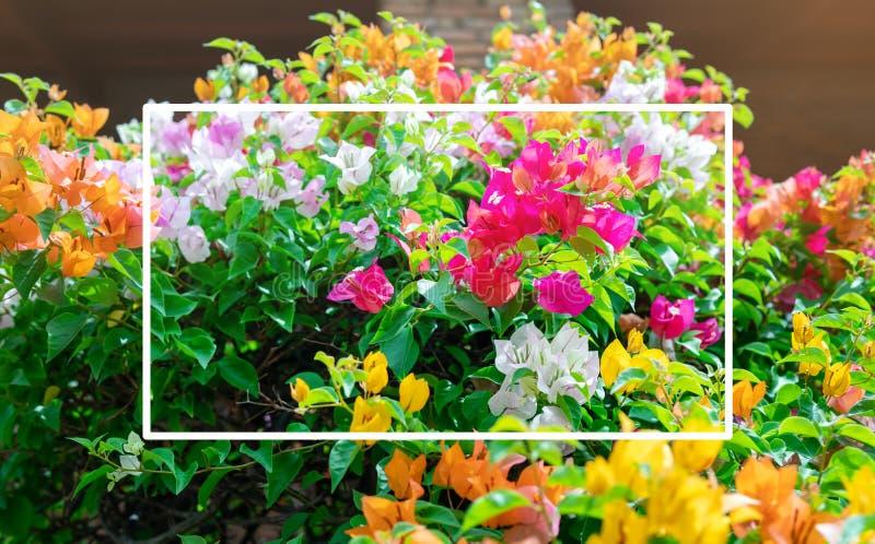 Τα λουλούδια Bougainvillea είναι ανθίζοντας και ζωηρόχρωμα και όμορφα στοκ φωτογραφία