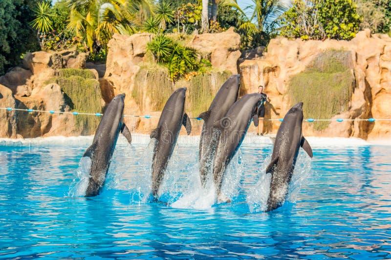 Τα δελφίνια που πηδούν spectaculary υψηλό στο ενυδρείο παρουσιάζουν στοκ φωτογραφίες με δικαίωμα ελεύθερης χρήσης