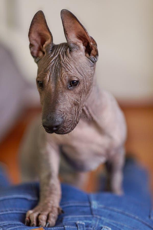 Τα δύο μηνών κουταβιών της σπάνιας φυλής - Xoloitzcuintle, ή μεξικάνικο άτριχο σκυλί, τυποποιημένο μέγεθος στενό πορτρέτο επάνω στοκ φωτογραφία με δικαίωμα ελεύθερης χρήσης