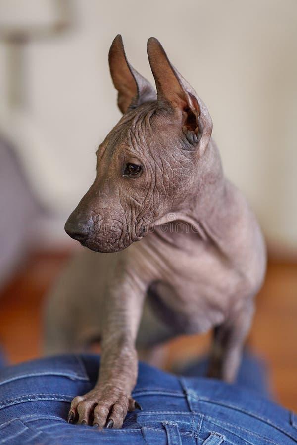Τα δύο μηνών κουταβιών της σπάνιας φυλής - Xoloitzcuintle, ή μεξικάνικο άτριχο σκυλί, τυποποιημένο μέγεθος στενό πορτρέτο επάνω στοκ εικόνες με δικαίωμα ελεύθερης χρήσης