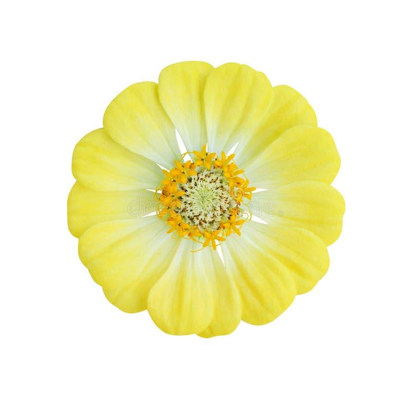 Τα σχέδια φύσης της ζωηρόχρωμης τοπ άποψης άνθισης λουλουδιών, του κίτρινων violacea της Zinnia ή των asteraceae απομόνωσαν στο ά στοκ φωτογραφίες