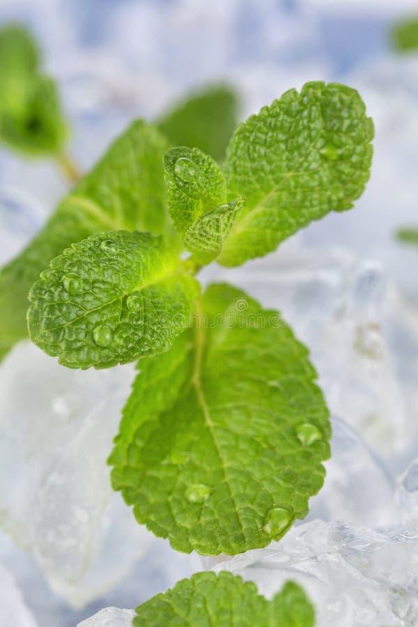 Τα φρέσκα φύλλα μεντών βρίσκονται στους κύβους πάγου προετοιμασία των κοκτέιλ Αγνότητα και φρεσκάδα έννοιας στοκ φωτογραφίες