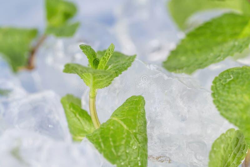 Τα φρέσκα φύλλα μεντών βρίσκονται στους κύβους πάγου προετοιμασία των κοκτέιλ Αγνότητα και φρεσκάδα έννοιας στοκ εικόνες με δικαίωμα ελεύθερης χρήσης