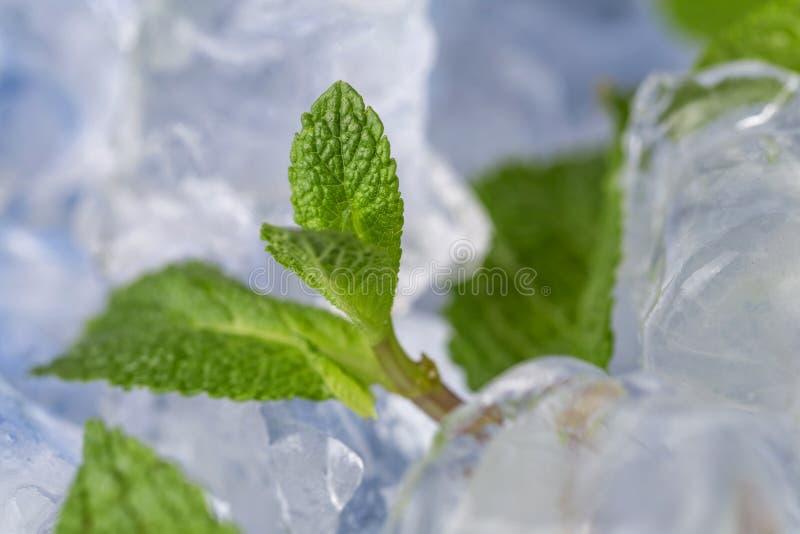 Τα φρέσκα φύλλα μεντών βρίσκονται στους κύβους πάγου προετοιμασία των κοκτέιλ Αγνότητα και φρεσκάδα έννοιας στοκ εικόνα με δικαίωμα ελεύθερης χρήσης