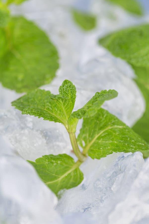 Τα φρέσκα φύλλα μεντών βρίσκονται στους κύβους πάγου προετοιμασία των κοκτέιλ Αγνότητα και φρεσκάδα έννοιας στοκ εικόνες