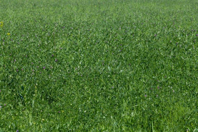 Τεμάχιο του τομέα του πράσινου ανθίζοντας τριφυλλιού στοκ εικόνα με δικαίωμα ελεύθερης χρήσης