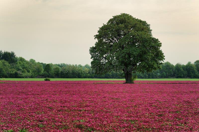 Τομέας κόκκινου τριφυλλιού και άσπρο δρύινο δέντρο στοκ εικόνα με δικαίωμα ελεύθερης χρήσης