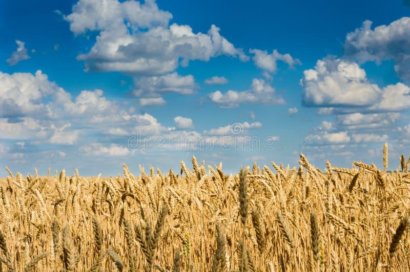 Τομέας μπλε ουρανού και σίτου στοκ εικόνες