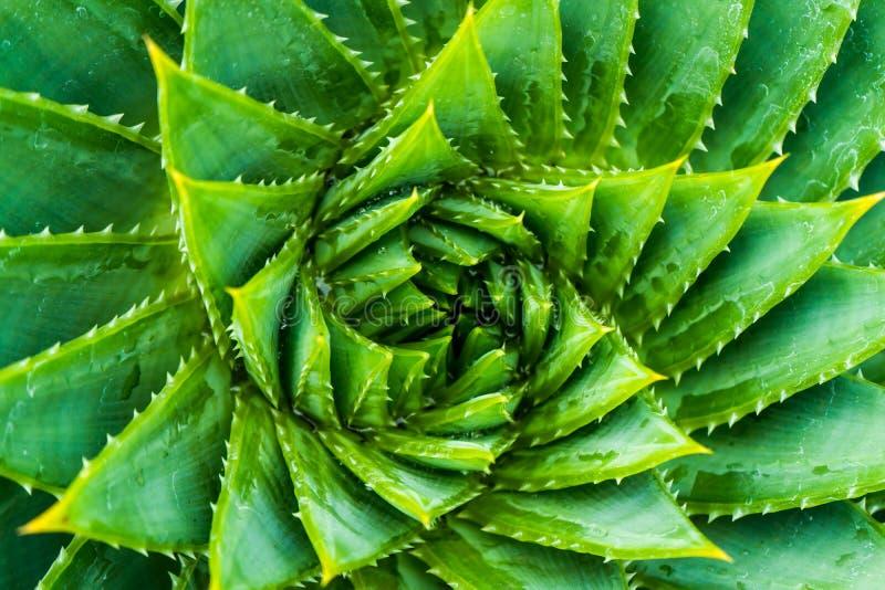 Τοπ άποψη σπειροειδές Aloe Aloe κινηματογράφηση σε πρώτο πλάνο polyphylla wiew στοκ εικόνα με δικαίωμα ελεύθερης χρήσης