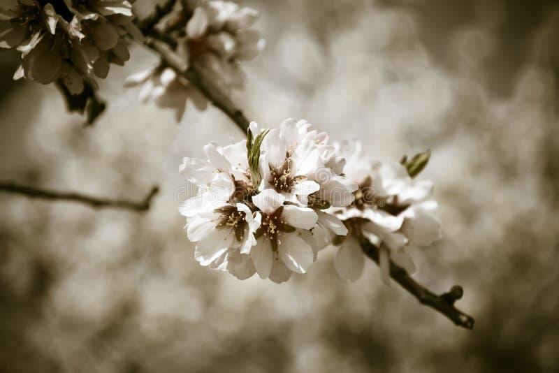 Το άνθος αμυγδάλων καλλιεργεί την άνοιξη στοκ εικόνες