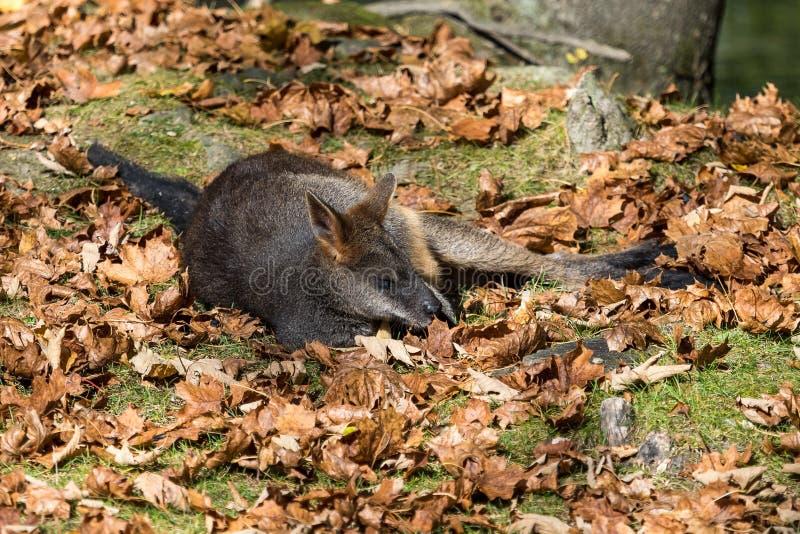 Το έλος Wallaby, Wallabia δίχρωμο, είναι ένα από τα μικρότερα καγκουρό στοκ φωτογραφίες