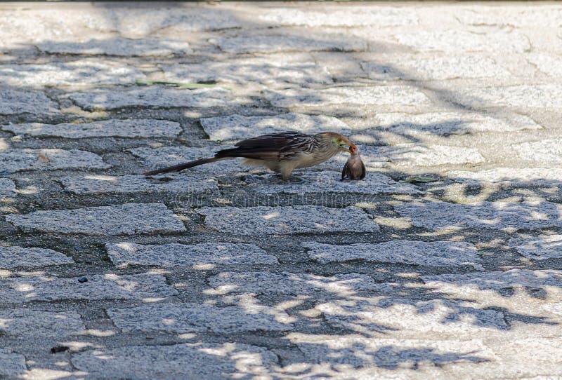Το αρπακτικό πουλί μειώνει μικρό πουλί στοκ φωτογραφία