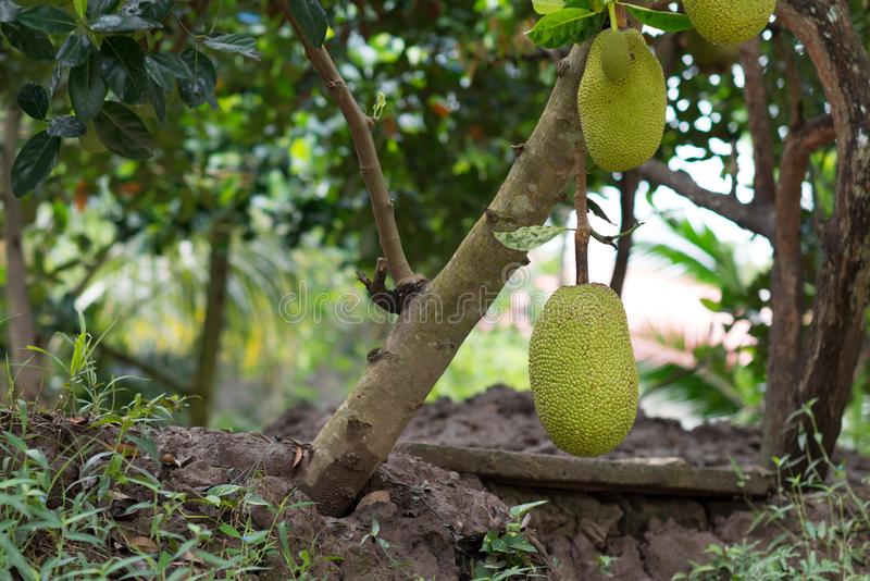 Το βιετναμέζικο δέντρο γρύλων Jackfruit επίσης αποκαλούμενο είναι δέντρο-αντεγμένα φρούτα χαρακτηριστικά από το Βιετνάμ, Ασία στοκ φωτογραφία με δικαίωμα ελεύθερης χρήσης