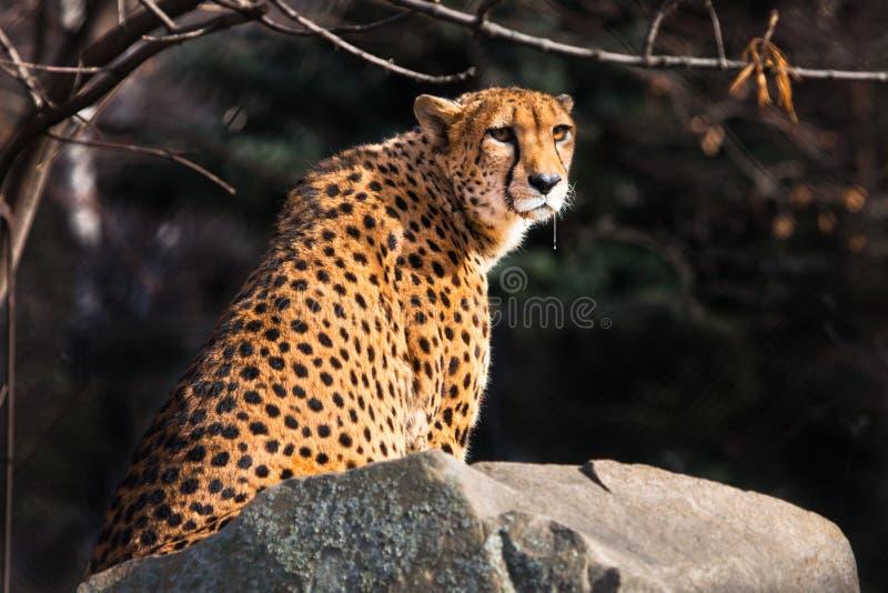 Το ηλιοφώτιστο τσιτάχ με τη φωτεινή πορτοκαλιά τρίχα κάθεται σε μια πέτρα, σκοτεινό υπόβαθρο στοκ εικόνες