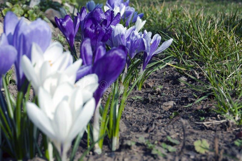 Το θεαματικό, ζωηρόχρωμο πρώιμο ελατήριο ανθίζει στην ηλιοφάνεια στον κήπο, εκλεκτική εστίαση, διάστημα για το κείμενο στοκ φωτογραφία με δικαίωμα ελεύθερης χρήσης