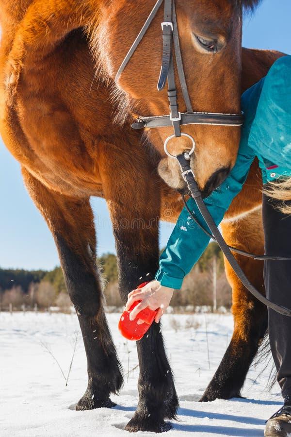 Το κορίτσι βουρτσίζει το πόδι του αλόγου από την τρίχα και τη σκόνη στοκ εικόνα