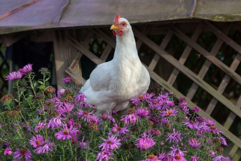 Το κοτόπουλο στα λουλούδια, το κοτόπουλο φέρνει τα αυγά Πάσχας στα λουλούδια στοκ φωτογραφία