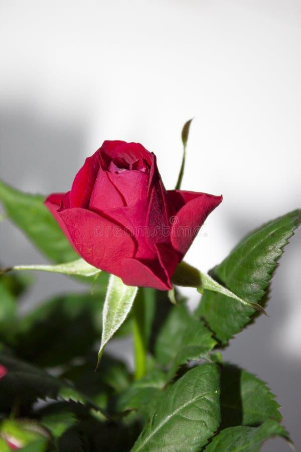 το κόκκινο οφθαλμών αυξήθηκε Λουλούδι οίστρο μεγάλο απελευθέρωσης πράσινο ύδωρ φωτογραφίας φύλλων μακρο στοκ φωτογραφία με δικαίωμα ελεύθερης χρήσης
