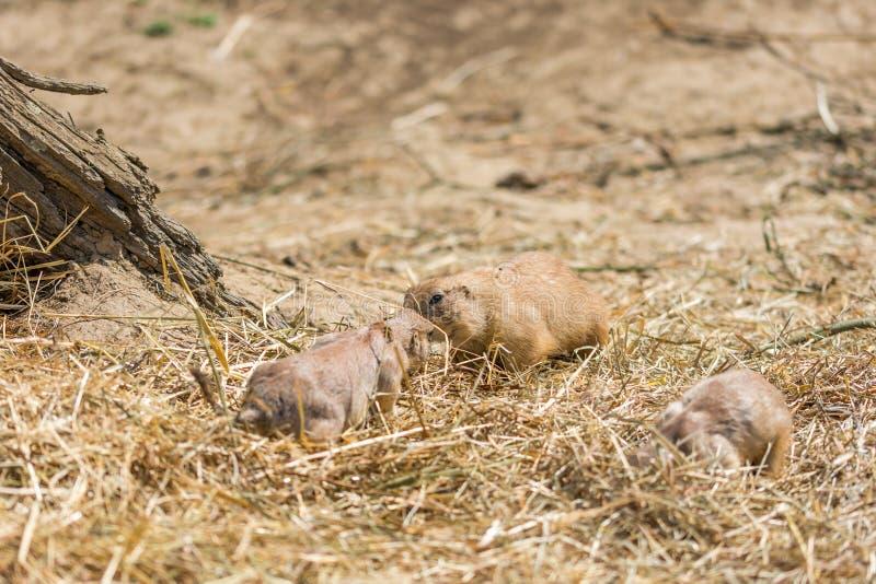 Το λατινικό ludovicianus Cynomys ονόματος σκυλιών λιβαδιών στο έδαφος Ζωική προέλευση τρωκτικών από την Αφρική στοκ εικόνα με δικαίωμα ελεύθερης χρήσης