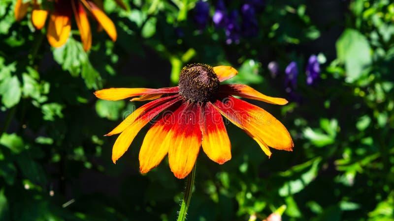 Το μαύρο Eyed, κόκκινου και πορτοκαλιού λουλούδι της Susan, hirta Rudbeckia το υπόβαθρο, εκλεκτική εστίαση, ρηχό DOF στοκ φωτογραφία με δικαίωμα ελεύθερης χρήσης