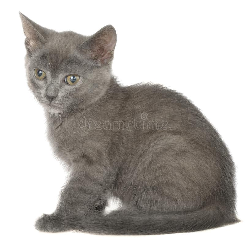 Το μικρό γκρίζο γατάκι shorthair βρίσκεται απομονωμένο στοκ εικόνα