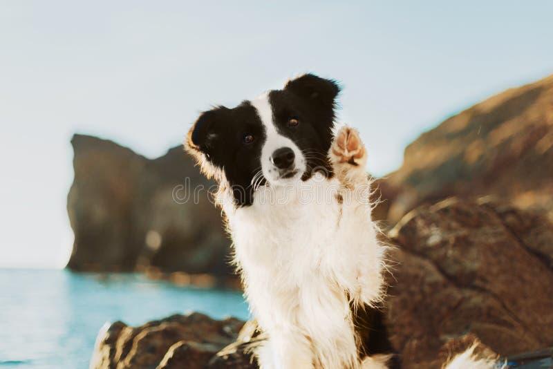 Το νέο σκυλί κόλλεϊ συνόρων με μια γραπτή παραμονή περιλαίμιων στα πίσω πόδια και κάνει ένα τέχνασμα θάλασσα στο υπόβαθρο στοκ εικόνα