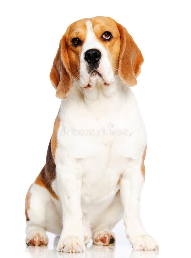 το σκυλί λαγωνικών ανασ&kap στοκ εικόνα με δικαίωμα ελεύθερης χρήσης