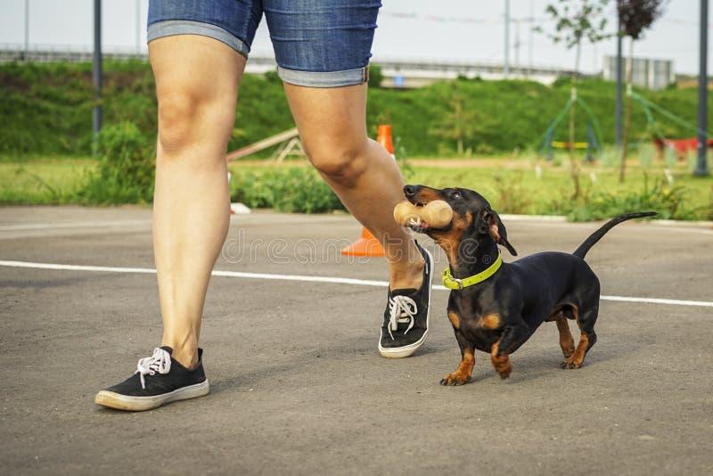 Το σκυλί της φυλής dachshund, ο Μαύρος και το μαύρισμα, εκτελούν μια εντολή aport στους ανταγωνισμούς για την ευελιξία και την υπ στοκ εικόνες