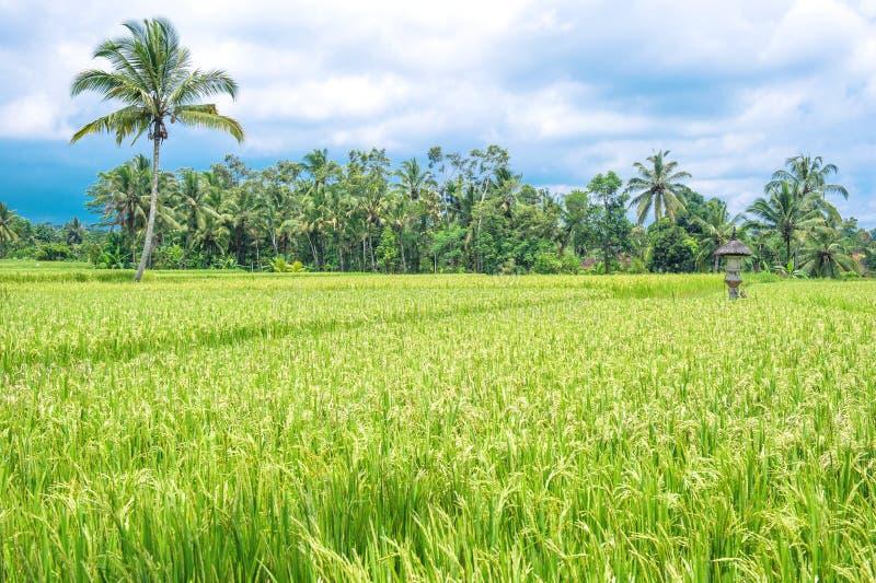 Το τροπικό πράσινο ρύζι τοπίων αρχειοθέτησε τον μπλε νεφελώδη ουρανό στοκ εικόνες