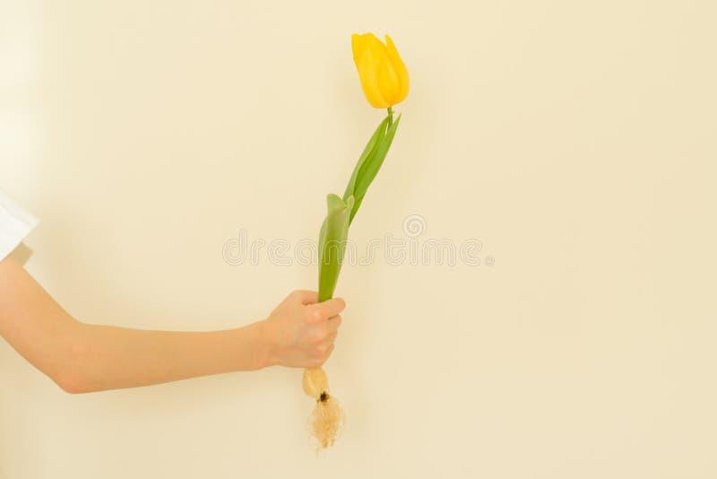 Το χέρι παιδιών με μια κίτρινη τουλίπα λουλουδιών με το βολβό, ελαφρύς τοίχος υποβάθρου, δίνει το λουλούδι, διακοπές άνοιξη στοκ φωτογραφίες με δικαίωμα ελεύθερης χρήσης