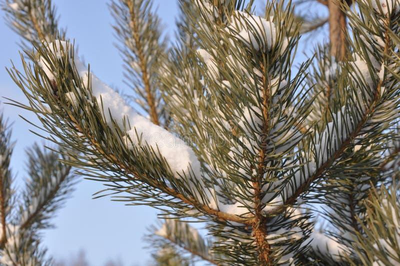 Το χιόνι της Μόσχας βρίσκεται σε ένα δέντρο πεύκων στοκ φωτογραφία με δικαίωμα ελεύθερης χρήσης