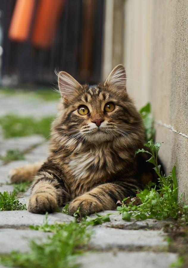 Το πορτρέτο της εσωτερικής χνουδωτής γάτας του Maine γατακιών coon βρίσκεται στην οδό, κινηματογράφηση σε πρώτο πλάνο στοκ φωτογραφία με δικαίωμα ελεύθερης χρήσης