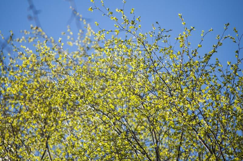 Το πρόωρο υπόβαθρο άνοιξη των πρώτων φρέσκων φύλλων του δέντρου σημύδων διακλαδίζεται την άνοιξη φως του ήλιου στοκ φωτογραφία με δικαίωμα ελεύθερης χρήσης