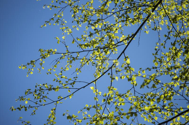 Το πρώιμο ελατήριο με την κινηματογράφηση σε πρώτο πλάνο των πρώτων φρέσκων πράσινων φύλλων του δέντρου σημύδων διακλαδίζεται την στοκ εικόνες