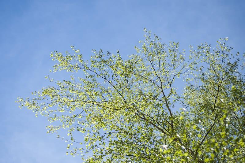 Το πρώιμο ελατήριο με την κινηματογράφηση σε πρώτο πλάνο των πρώτων φρέσκων πράσινων φύλλων του δέντρου σημύδων διακλαδίζεται στο στοκ φωτογραφία