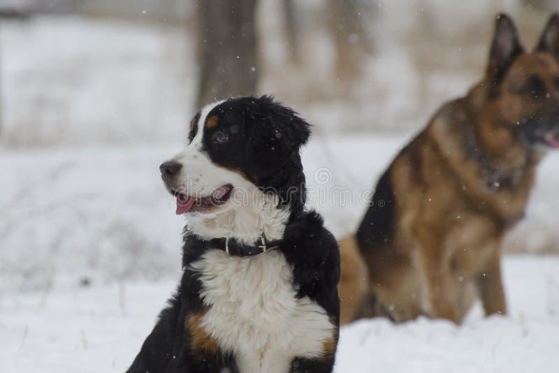 Το Bernese και τα καυκάσια σκυλιά ποιμένων παίζουν στο χιόνι σε ένα χειμερινό πάρκο στοκ φωτογραφίες με δικαίωμα ελεύθερης χρήσης