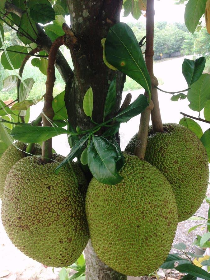Το Jackfruit είναι μεγάλες αιώνιες εγκαταστάσεις Στην ίδια οικογένεια με τη χάρη, 15-30 μέτρα ψηλός Οι μίσχοι και οι κλάδοι όταν  στοκ φωτογραφία με δικαίωμα ελεύθερης χρήσης