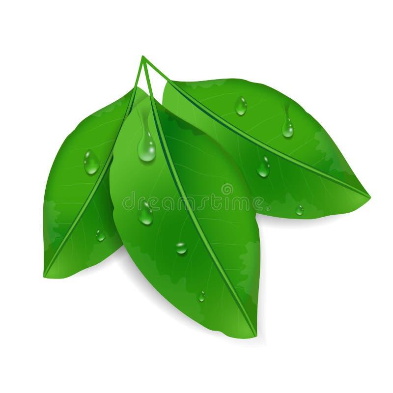 Τρία πράσινα φύλλα με τις πτώσεις δροσιάς που απομονώνονται στο άσπρο υπόβαθρο Περιβαλλοντικό σχέδιο με τις πτώσεις νερού διάνυσμ διανυσματική απεικόνιση